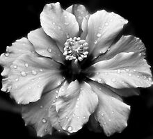 Chinese Rose in Black and White by Sjouke Veenbaas