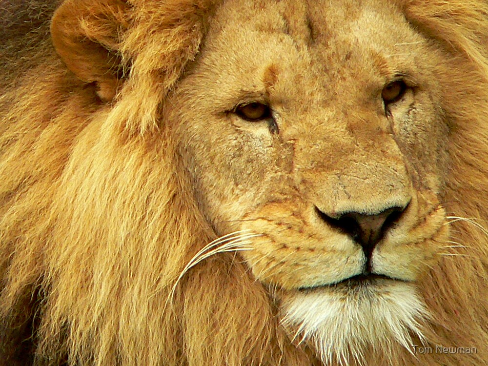 Lion at Melbourne Zoo by Tom Newman