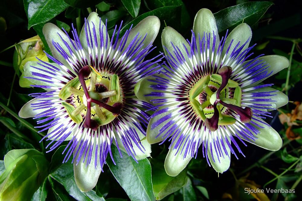 Passionflowers in Purple by Sjouke Veenbaas