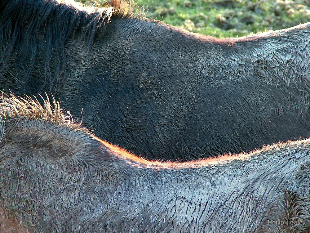 Horses' Backs by Philip Teale