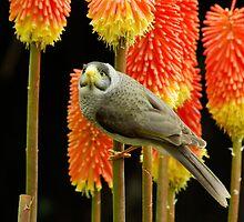Miner Bird by Aussiebluey