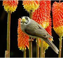 Miner Bird Photographic Print