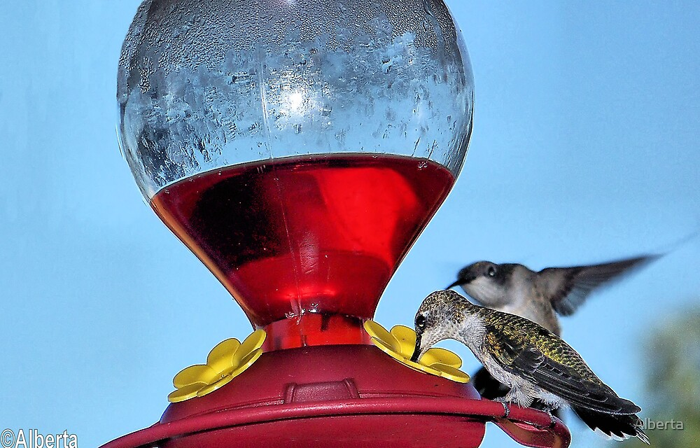 Hummingbirds by Alberta