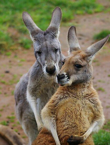 Kangaroo whispers. by Aussiebluey