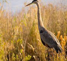 Great Blue Heron by Susan Gottberg