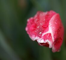 Tulip, head on by samaritan