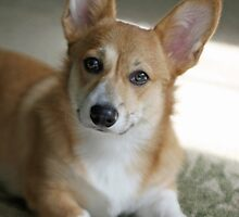 Relaxing Welsh Corgi by Baillyphoto