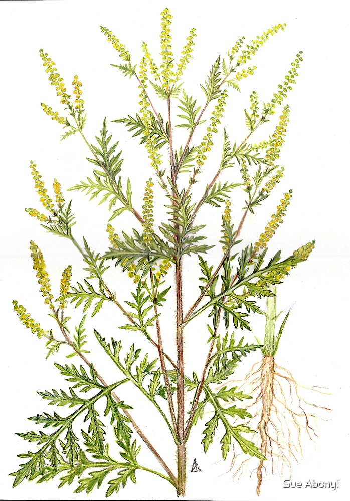 Common Ragweed - Ambrosia artemisiifolia by Sue Abonyi