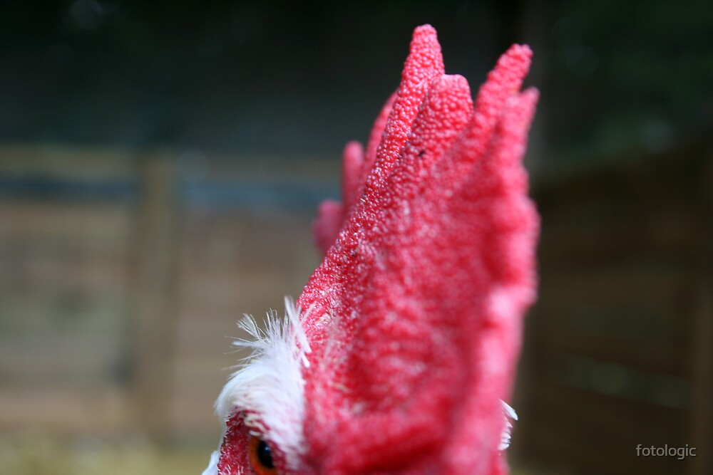 Cock's Comb by fotologic