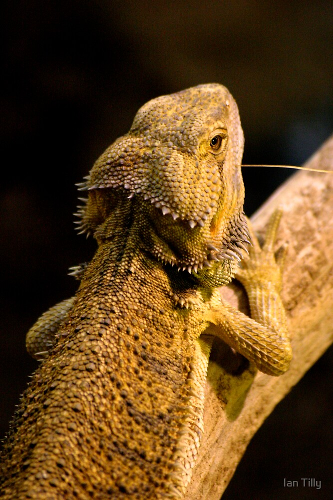 Iguana by Ian Tilly