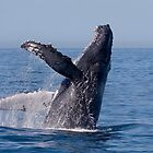 Humpback Breaching by Steve Bulford