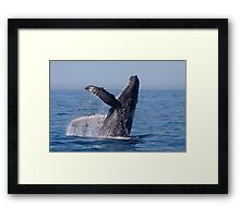 Humpback Breaching Framed Print