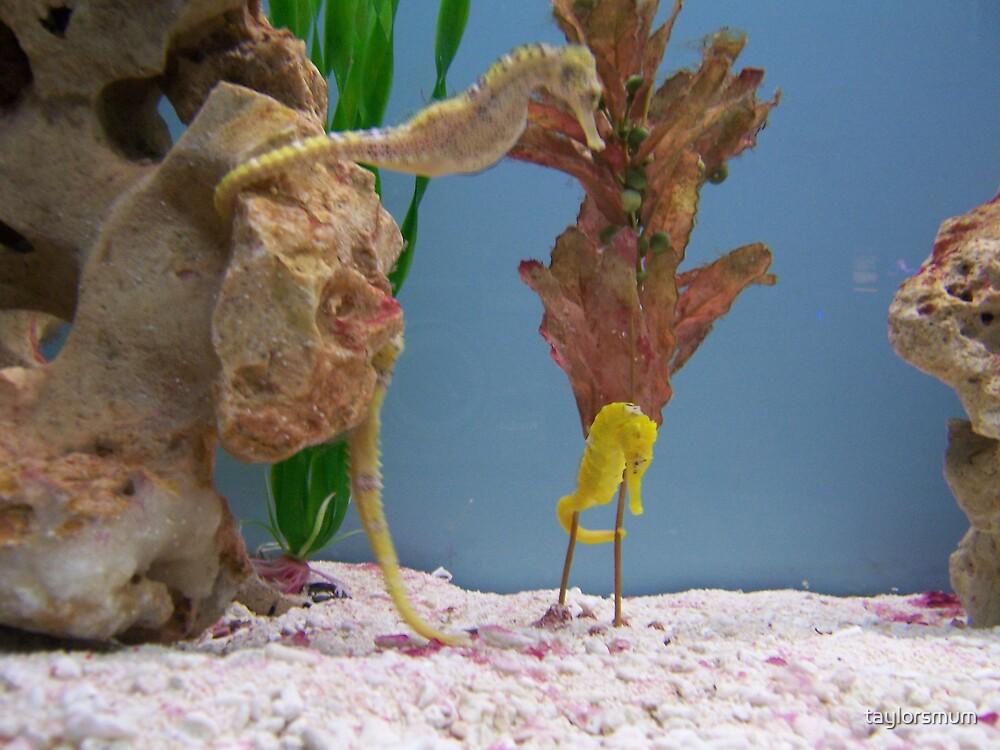 seahorses by taylorsmum