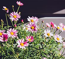 Pink Daisies by PatiDesigns