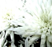 Snow Flower black and white chrysanthemum photography art Sticker
