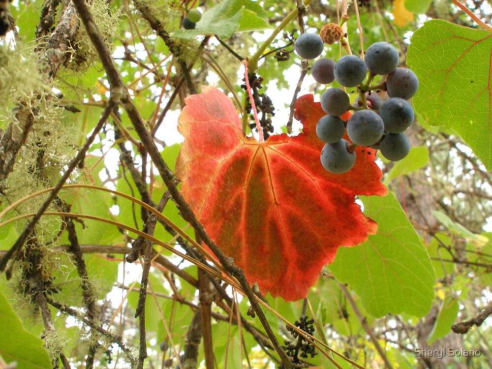 wild grapes by Sheryl Solano