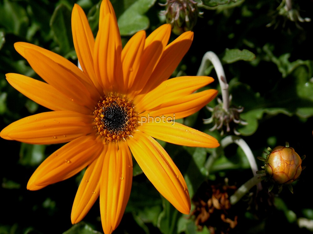 photoj Flora, Orange Delight  by photoj