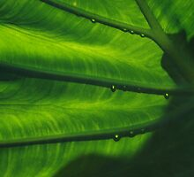 Elephant Ear Leaf by whircat