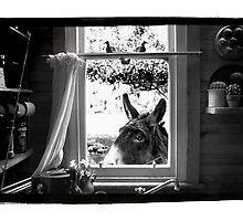 Donkey by Jaime