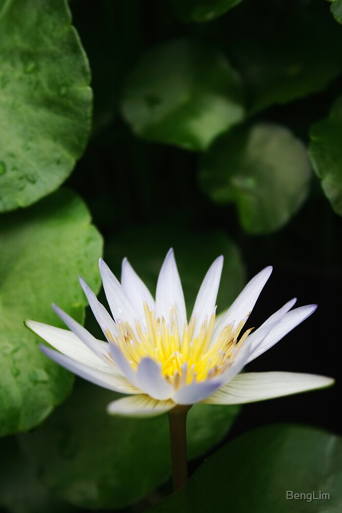 White Water Lily by BengLim