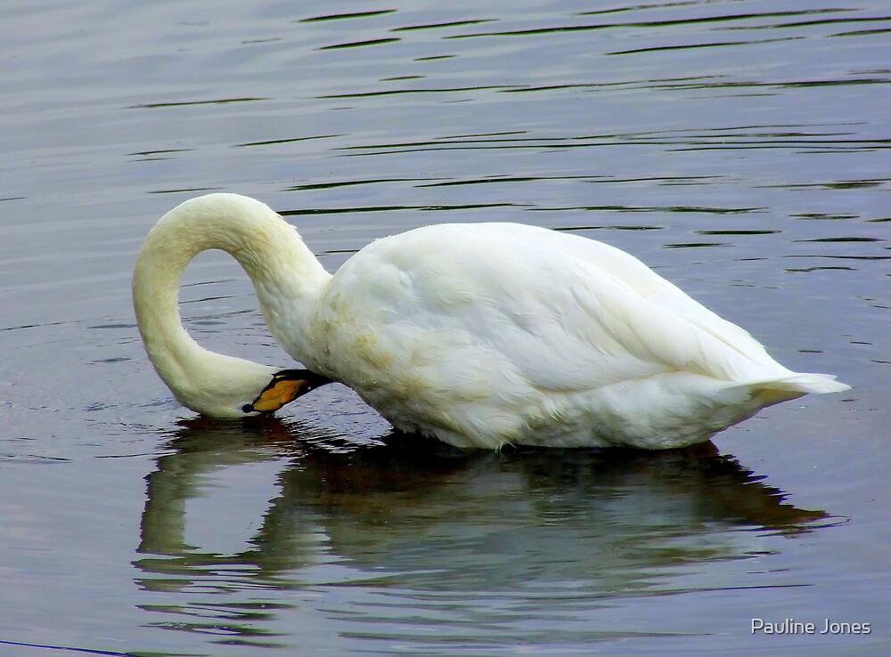 Mute Swan by Pauline Jones