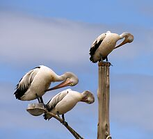 Pelican Preening Pole by Lisa  Kenny