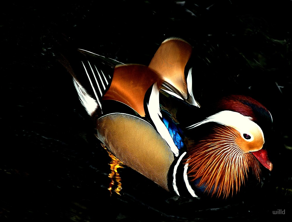 Mandarin Duck by willd