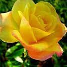 Yellow Peace Rose by quin10