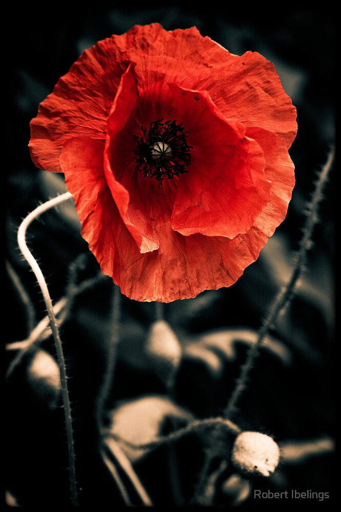Poppy by Robert Ibelings