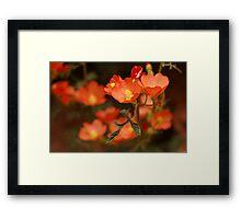 Orange Globe Mallow Framed Print
