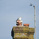 nesting seagull by becky covey