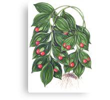 Miraculous Berry - Ruscus hypoglossum Canvas Print