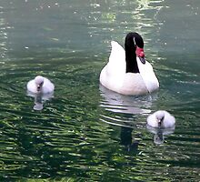 Swan Family by toots