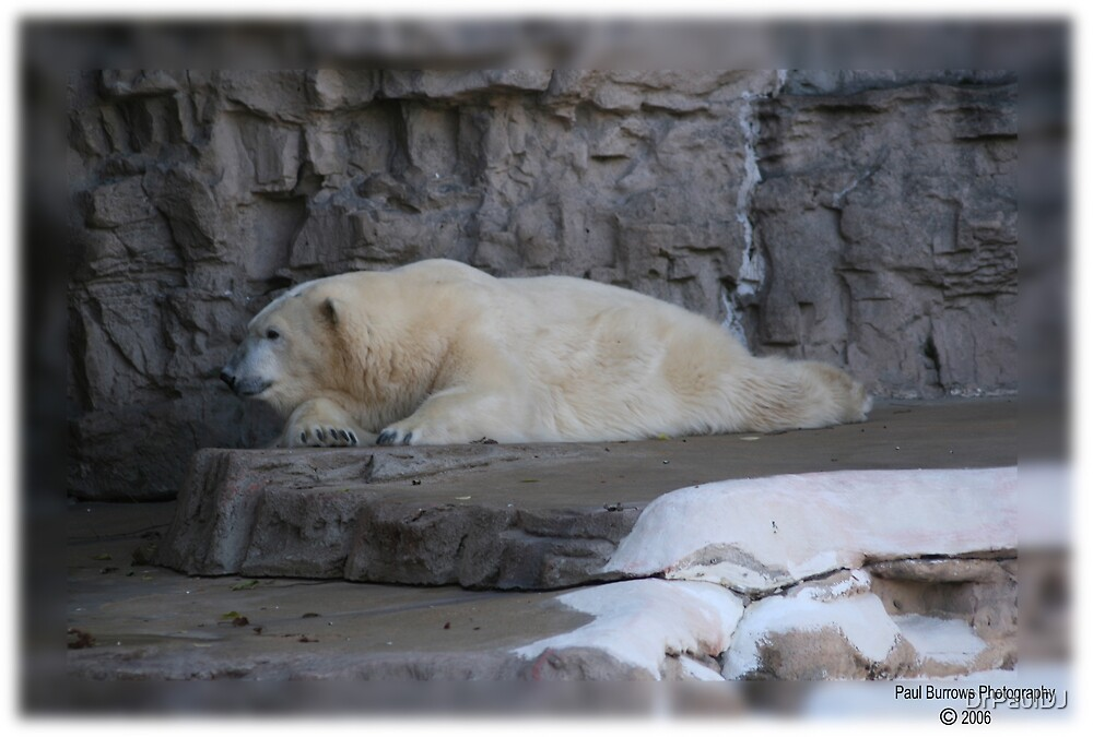 Polar Bear by DrPaulDJ
