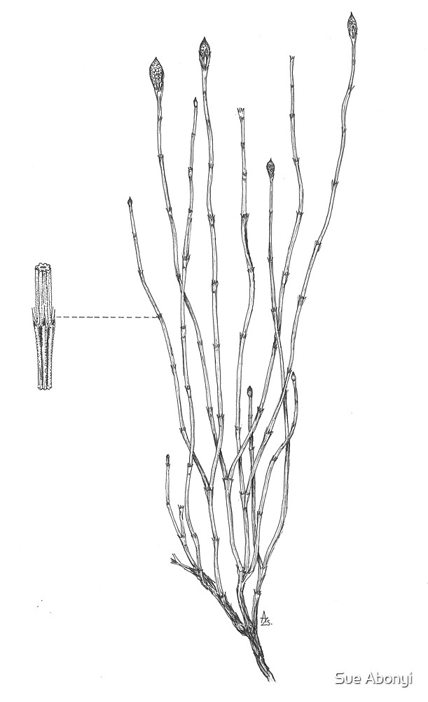 Branched Horsetail - Equisetum ramosissimum by Sue Abonyi