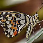 Gorgeous Butterfly by Nicole W.