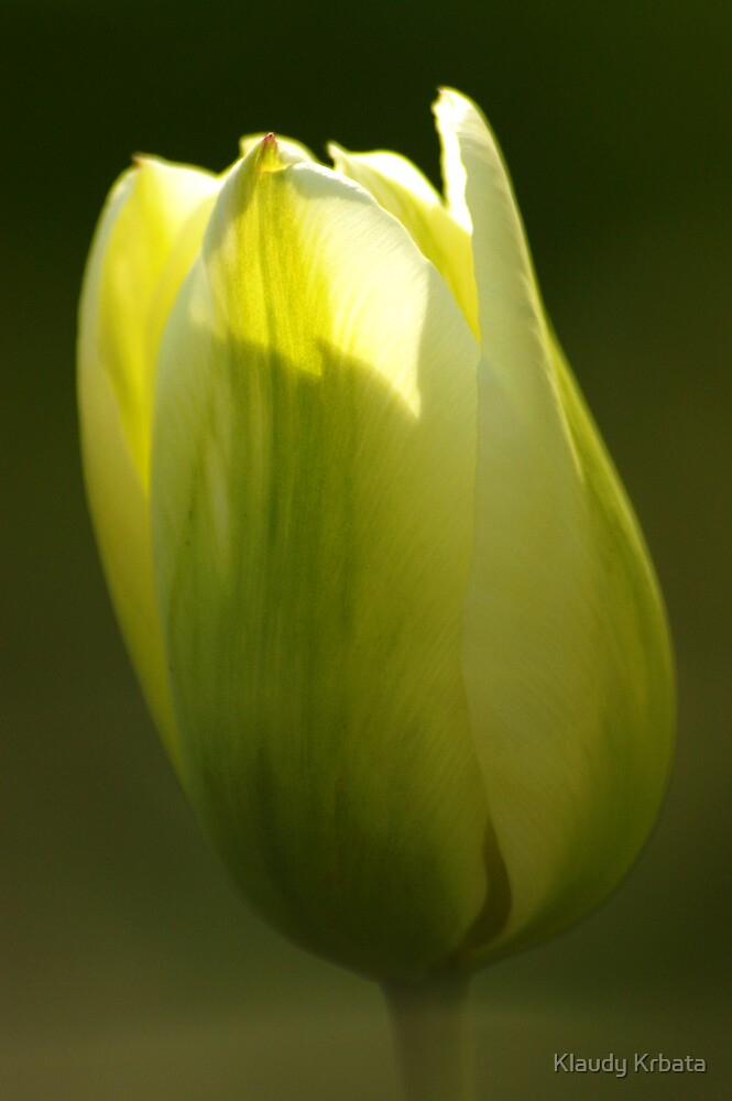 tulip by Klaudy Krbata