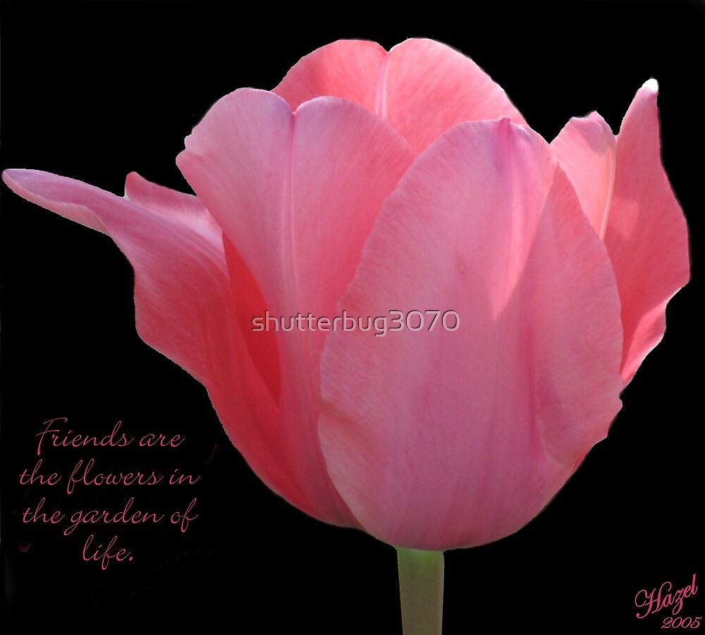 Friends....Pink Tulip by shutterbug3070