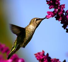 Heavenly Hummingbird by DARRIN ALDRIDGE