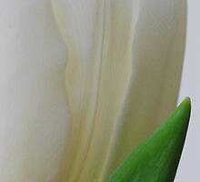 Tulip profile by Judith Tillson