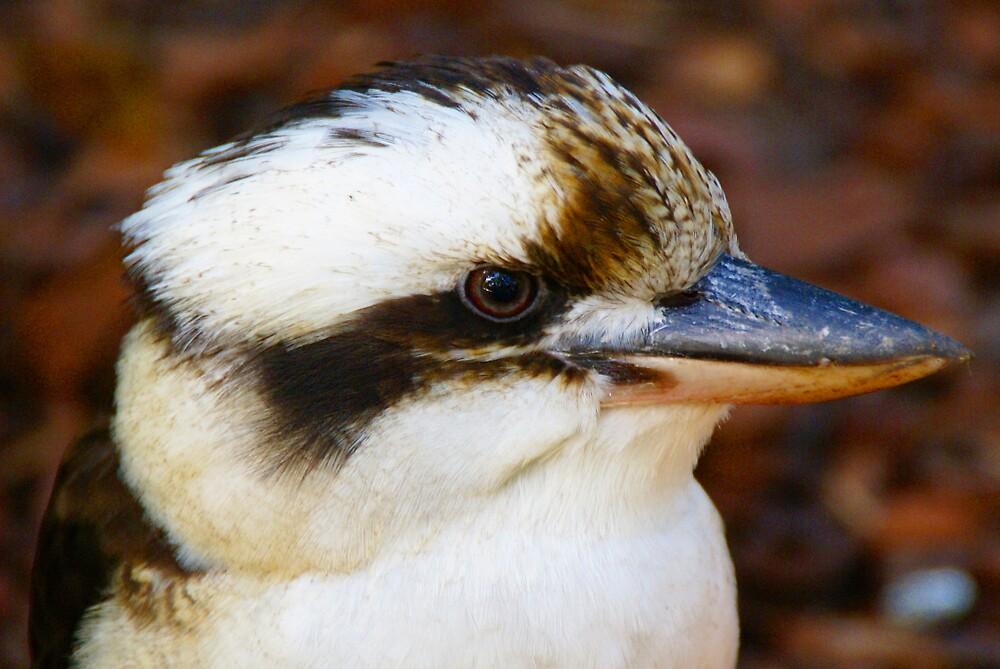 Kookaburra by diddle