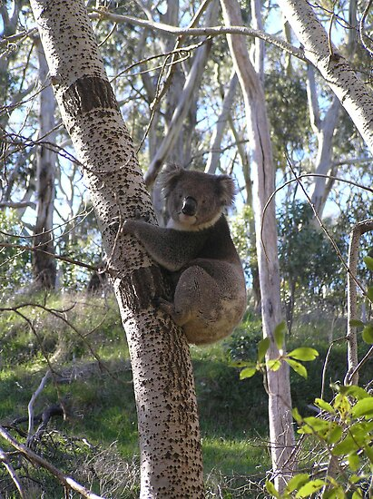 Koala in Tree by MuscularTeeth