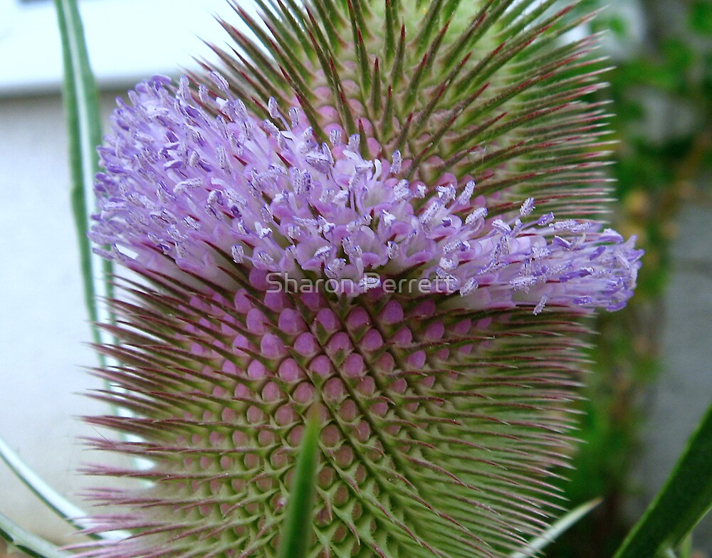 Teasle - A closer look by Sharon Perrett