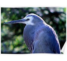 White Faced Heron III Poster