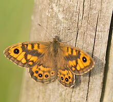 Wall Brown Butterfly by Robert Carr