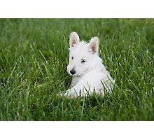 Scottish Terrier Pup in the Grass Photographic Print