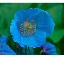 Himalayan Blue Poppy ( Meconopsis betonicifolia) Photographic Print
