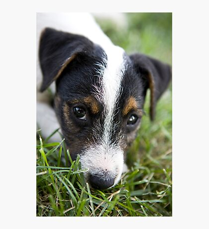 Jack Russel Terrier Puppy Photographic Print