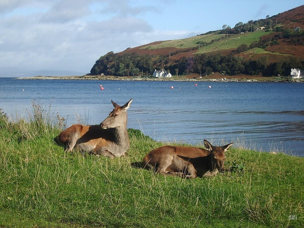 Arran deer - having a snooze by fifi