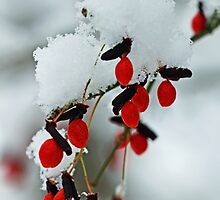 Snowy Red Fruit by Debbie Oppermann